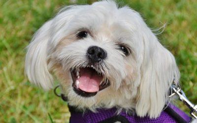 Cane di razza maltese ; un piccolo cane con grande carattere