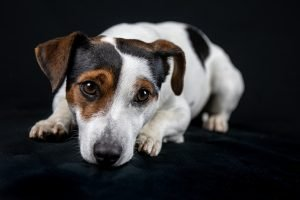 jack Russell a pelo lungo