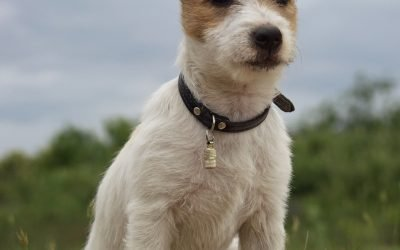 Il Jack Russell : è il cucciolo adatto per me?