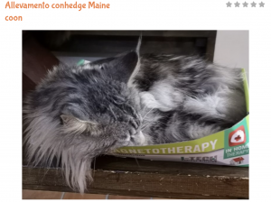 gatto maine coon carattere