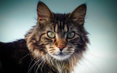 Il gatto Maine Coon e carattere , maestoso felino da compagnia